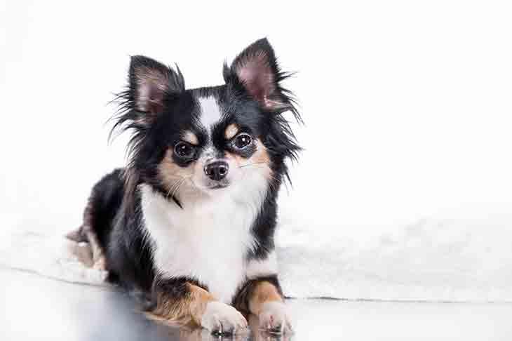 Chihuahua köpeği özellikleri
