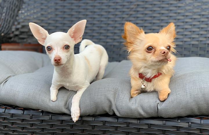 Chihuahua köpeği bakım