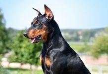 Doberman köpeği özellikleri, tarihçesi ve karakter yapısı