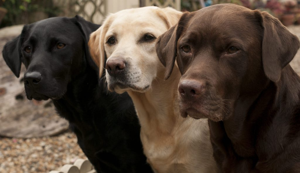 "Tam bir ""iş"" köpeği; Labrador Retriever"