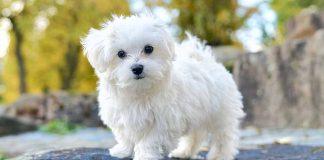 Maltese terrier köpeği özellikleri, tarihçesi ve karakter yapısı