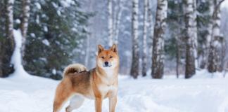 Shiba Inu köpeği özellikleri, tarihçesi ve karakter yapısı