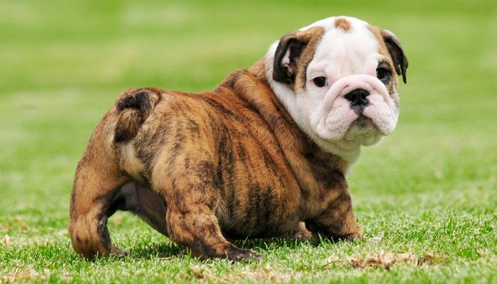 İngiliz bulldog yaşam öyküsü