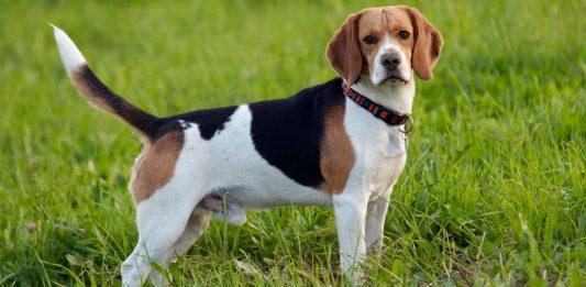 Beagle köpeği özellikleri, bakımı, beslenmesi