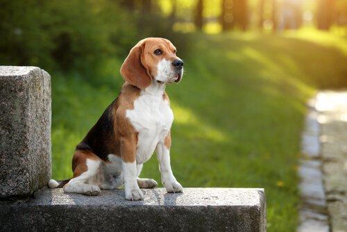 Beagle köpekler evde beslenir mi?