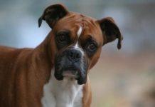 Boxer köpeği özellikleri, tarihçesi ve karakter yapısı