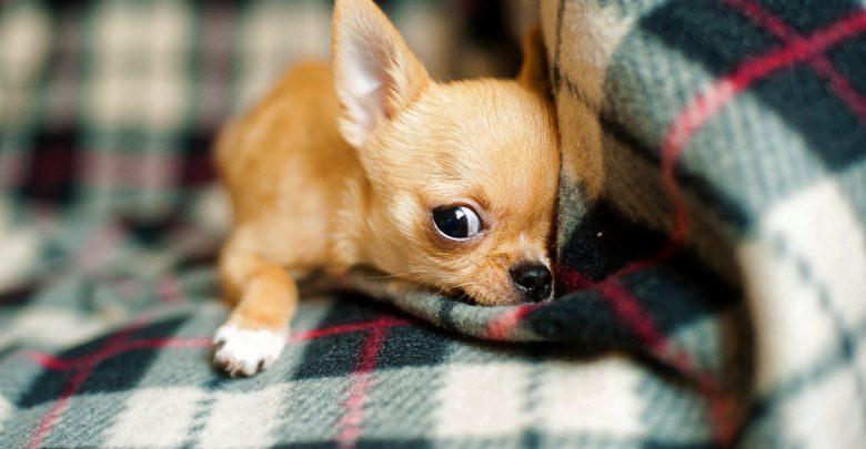 Chihuahua köpeği sağlık
