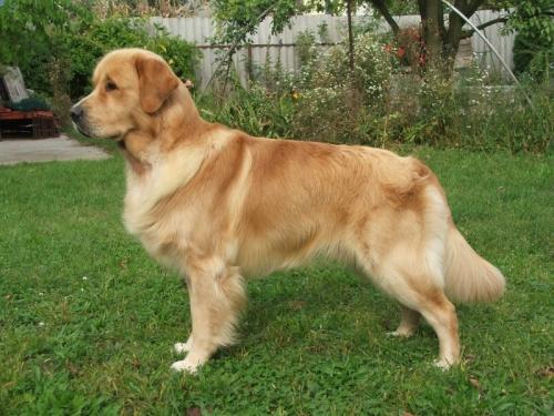 Golden Retriever köpeği özellikleri, tarihçesi ve karakter yapısı