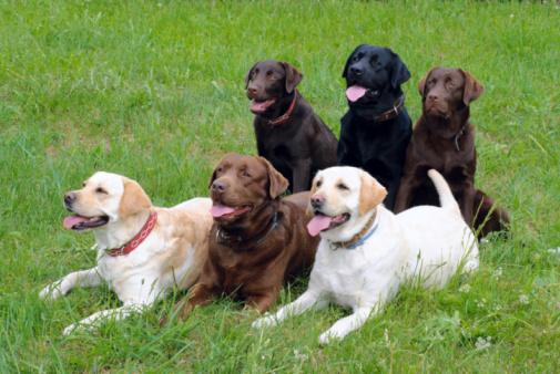 Labrador Retriever Eğitimi Nasıl Verilir?