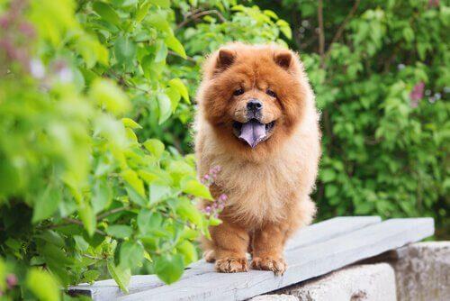 Chow Chow köpeği özellikleri, tarihçesi ve karakter yapısı