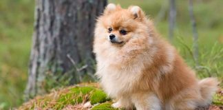 Pomeranian köpeği özellikleri, tarihçesi ve karakter yapısı