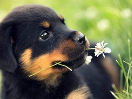 Rottweiler (Rotvaydır) köpeği özellikleri, tarihçesi ve karakter yapısı