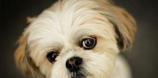 Shih Tzu köpeği özellikleri, tarihçesi ve karakter yapısı