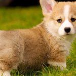 Welsh Corgi köpeği özellikleri, tarihçesi ve karakter yapısı