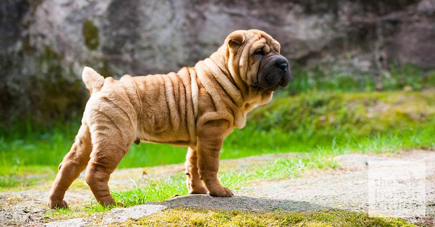 Shar Pei köpeği özellikleri, tarihçesi ve karakter yapısı