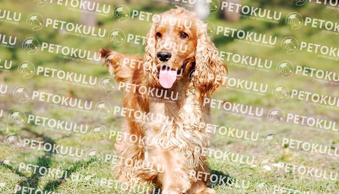 İngiliz Cocker Spaniel köpeği besleme