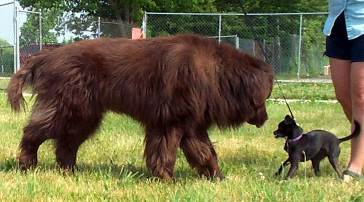 Newfoundland köpeği özellikleri ve karakter yapısı