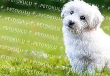 Bichon Frise köpeği özellikleri, tarihçesi ve karakter yapısı