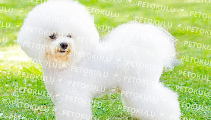 Bichon Frise köpeği bakımı
