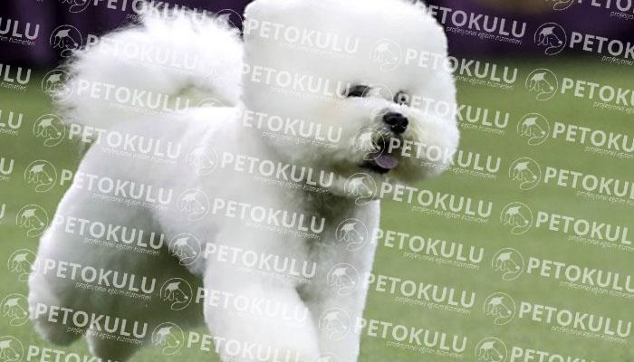 Bichon Frise köpeği karakter yapısı
