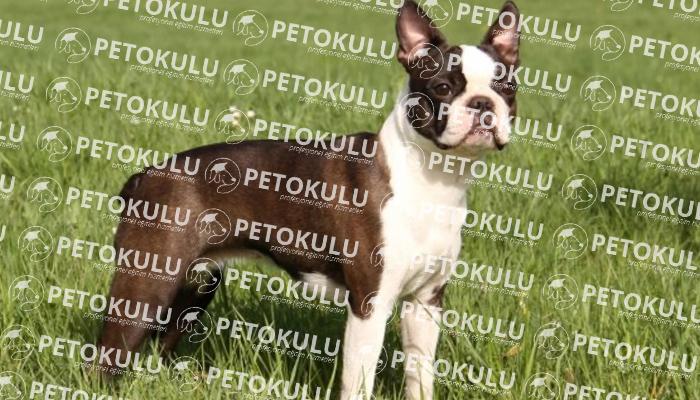 Boston Terrier köpeği apartman dairesinde beslenebilir mi