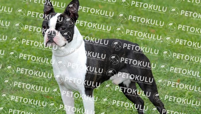 Boston Terrier köpeği karakter yapısı