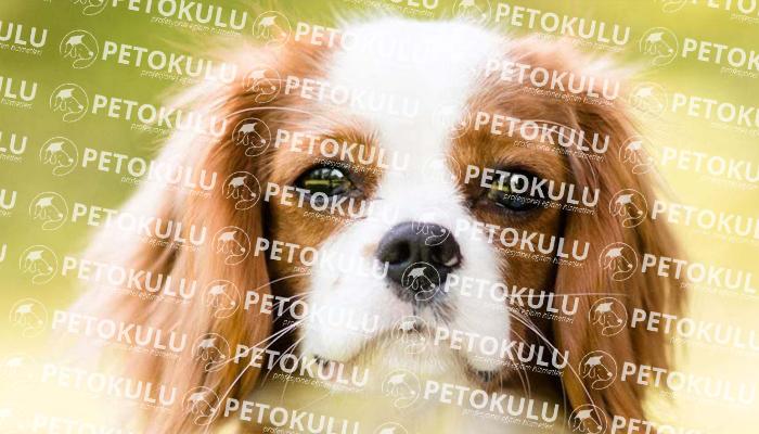 Cavalier King Charles köpeği karakter yapısı