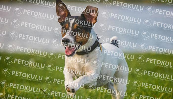 Jack Russel köpeği karakter yapısı