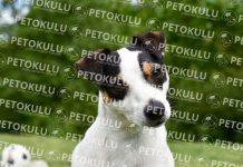 Jack Russell köpeği özellikleri, tarihçesi ve karakter yapısı