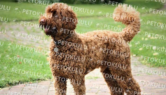 Labradoodle köpeği karakter yapısı