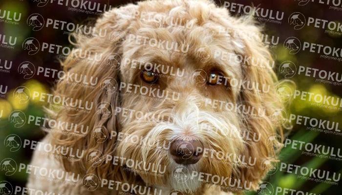 Labradoodle köpeği sağlık