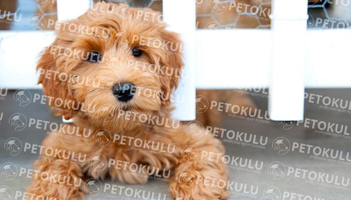Labradoodle köpeği tarihçesi