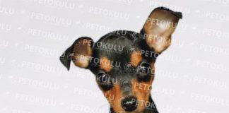 Minyatür Pinscher köpeği özellikleri, tarihçesi ve karakter yapısı