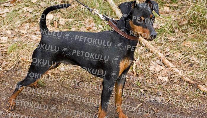 Minyatür Pinscher köpeği karakter yapısı