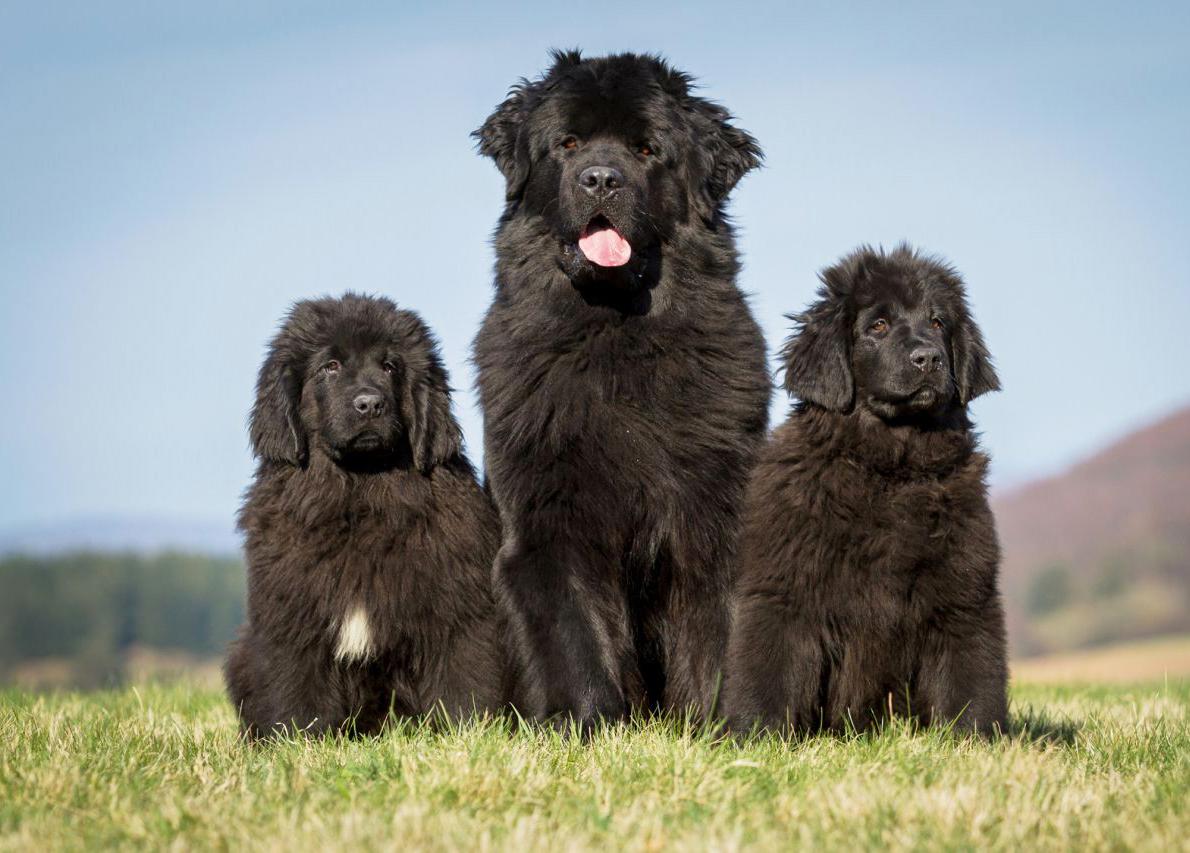 Newfoundland köpeği tarihçesi
