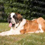 Saint Bernard köpeği özellikleri, tarihçesi ve karakter yapısı