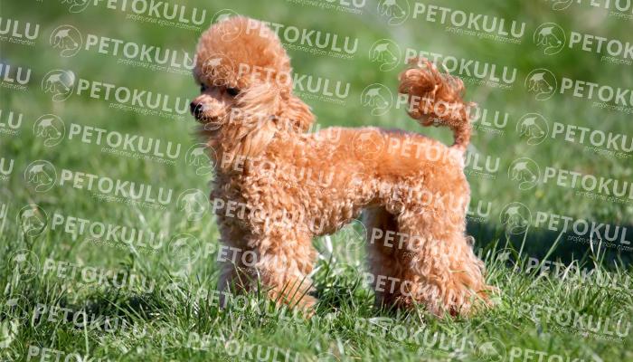 Toy Poodle köpeği bakımı