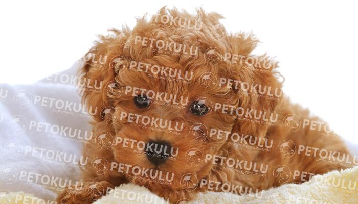 Toy Poodle köpeği besleme