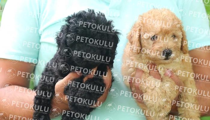 Toy Poodle köpeği karakteri