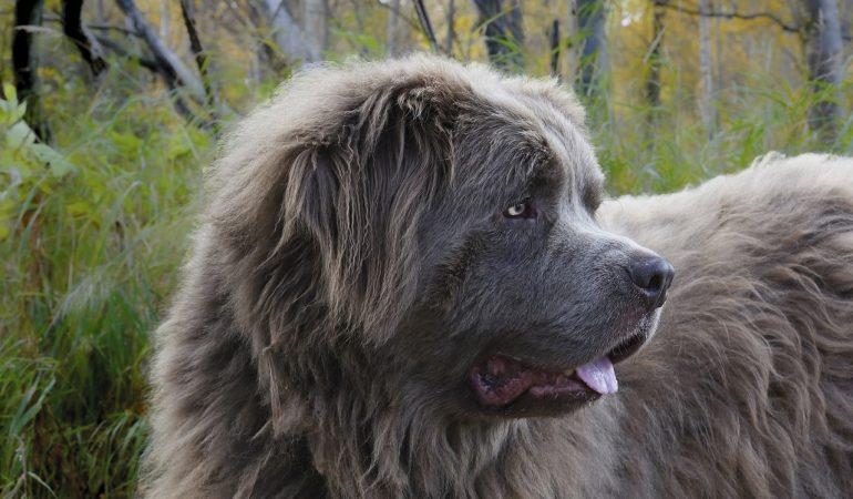 Newfoundland köpeği apartman dairesinde beslenir mi?