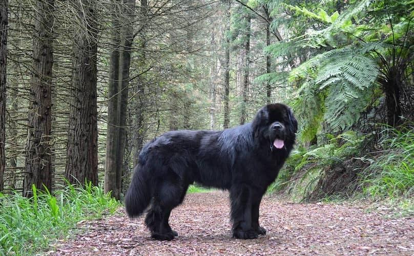 Newfoundland köpeği bakımı
