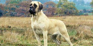 İngiliz Mastiff köpeği özellikleri, tarihçesi ve karakter yapısı