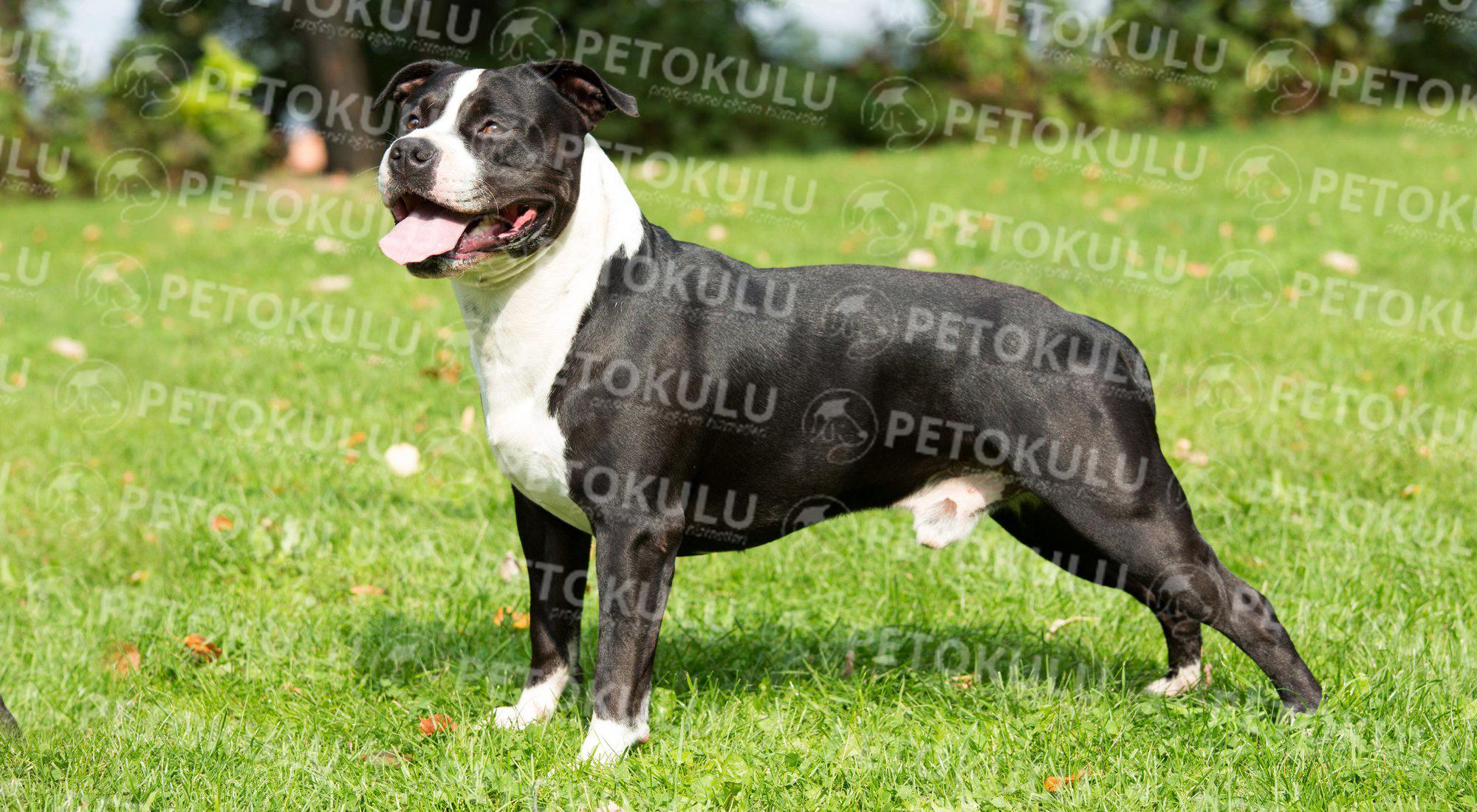 Amerikan Staffordshire Teriyer köpeği apartman dairesinde beslenebilir mi