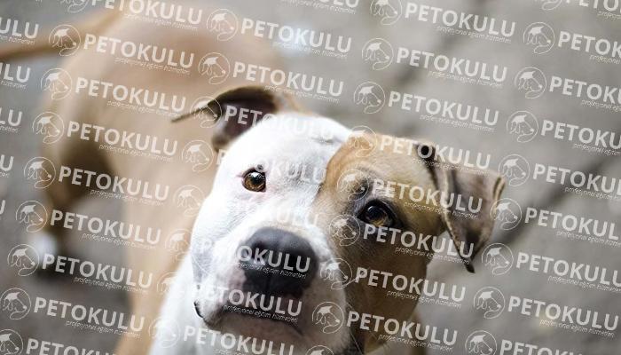 Amerikan Staffordshire Teriyer köpeği tarihçesi