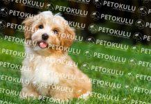 Havanese köpeği özellikleri, tarihçesi, karakter yapısı