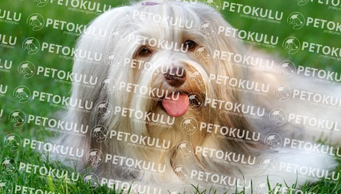 Havanese köpeği apartman dairesinde beslenebilir mi