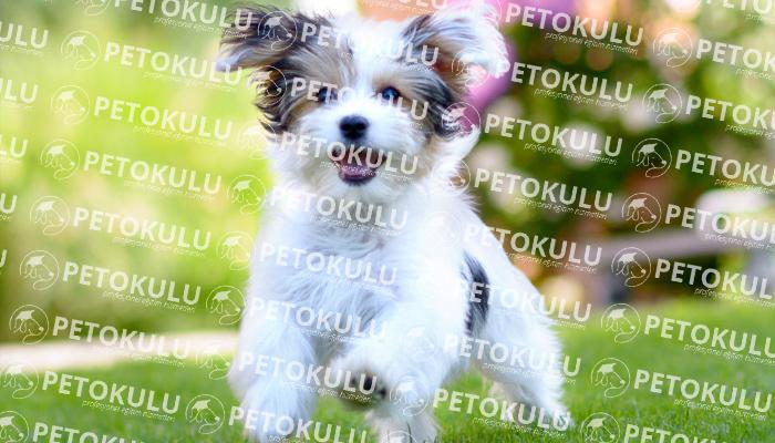Havanese köpeği bakımı