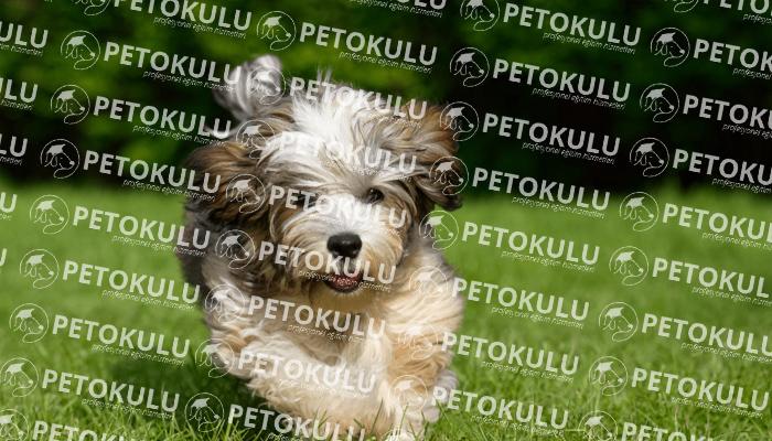 Havanese köpeği karakter yapısı