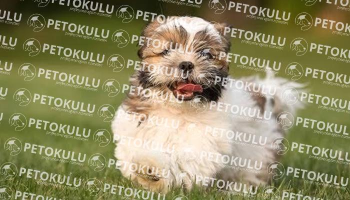Havanese köpeği tarihçesi