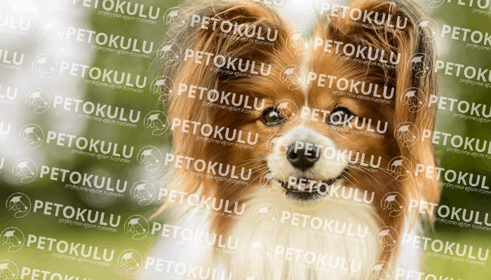 Papillon köpeği apartman dairesinde beslenebilir mi